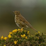 Song Thrush Lossiemouth 7 Apr 2014 David Main