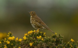 Song Thrush, Lossiemouth 7 Apr 2014 (David Main)