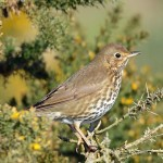 Song Thrush, Lossiemouth 9 Mar 2016 (Gordon Biggs) P