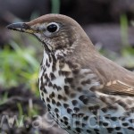 Song Thrush, Tomnamoon 15 Apr 2016 (Mike Crutch) P