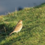 Song Thrush Tugnet 8 Jan 2016 Martin Cook P