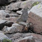Sparrowhawk Cairngorms 5 Jul 2017 Robert Ince P