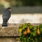 Sparrowhawk, Elgin 2 Oct 2014 (David Main)