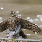 Sparrowhawk Elgin 21 Sep 2017 David Main P