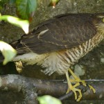 Sparrowhawk, Elgin 24 Aug 2014 (David Main)