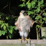 Sparrowhawk Moor of Tore 18 Jun 2017 Geoff Debbie Smith P