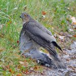 Sparrowhawk, Rafford 22 Nov 2016 (Gordon Biggs)