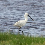 Spoonbill Findhorn Bay 17 June 2014 Richard Somers Cocks 1