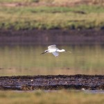 Spoonbill Findhorn Bay 9 Oct 2014 Richard Somers Cocks