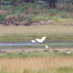 Spoonbills Findhorn Bay 21 July 2014 Richard Somers Cocks