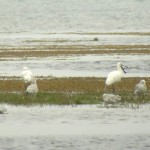 Spoonbills Findhorn Bay 23 July 2014 Richard Somers Cocks