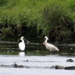 Spoonbills Findhorn Bay 27 June 2014 Gordon Biggs 2