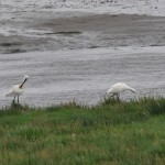 Spoonbills Findhorn Bay 28 June 2014 Gordon McMullins 2