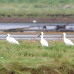 Spoonbills Findhorn Bay 9 Aug 2014 Richard Somers Cocks