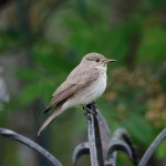 Spotted Flycatcher Alves 15 Jun 2016 Tony Backx 3 P