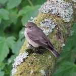 Spotted Flycatcher Glenlivet 13 Jun 2016 Gordon Biggs 2