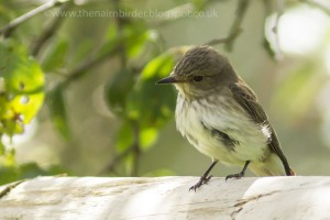 Spotted Flycatcher, Laikenbuie 13 July 2014 (Seamus McArdle)