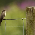 Spotted Flycatcher Laikenbuie 21 July 2014 Seamus McArdle 3