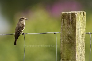 Spotted Flycatcher, Laikenbuie 21 July 2014 (Seamus McArdle) 3