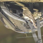 Spotted Flycatcher near Nairn 5 July 2014 Seamus McArdle 1