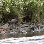 Spotted Redshank Findhorn Bay 10 May 2015 Richard Somers Cocks