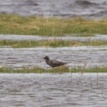 Spotted Redshank Findhorn Bay 6 May 2015 Richard Somers Cocks