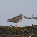 Spotted Redshank Lossie estuary 11 Sept 2014 David Main