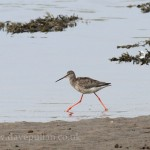 Spotted Redshank Lossie estuary 4 Sept 2014 Dave Pullan
