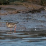 Spotted Redshank Lossie estuary 9 Sept 2014 David Main