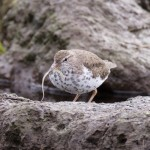 Spotted Sandpiper Mosset Burn 16 May 2016 Richard Somers Cocks 1 P