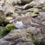 Spotted Sandpiper Mosset Burn 16 May 2016 Richard Somers Cocks 2 P