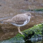 Spotted Sandpiper Mosset Burn 16 May 2016 Richard Somers Cocks 3 P