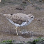 Spotted Sandpiper Mosset Burn 16 May 2016 Richard Somers Cocks 4 P