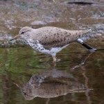 Spotted Sandpiper Mosset Burn 16 May 2016 Richard Somers Cocks 5 P