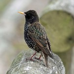 Starling 4 March 2013 Gordon Biggs