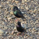 Starling, Lossie estuary 5 May 2016 (Bob Proctor)