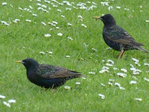 Starling, Tugnet 11 May 2014 (Bob Proctor)