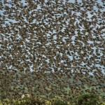 Starlings Findhorn Bay 2 July 2014 David Main 1