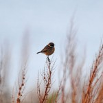 Stonechat Burghead 25 Nov 2014 Gordon Biggs