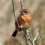 Stonechat Burghead Cummingston 26 May 2017 Gordon Biggs 1 P