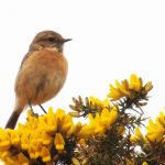 Stonechat Covesea 6 May 2017 Lisa Stewart