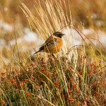 Stonechat, Dava 13 Nov 2015 (Tony Backx) P