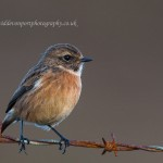 Stonechat, Dava 9 Oct 2014 (David Devonport) 2
