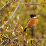 Stonechat Dava area 22 Oct 2013 David Devonport