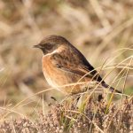 Stonechat Findhorn 14 Jan 2017 Richard Somers Cocks