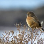Stonechat Hopeman 19 Jan 2016 Alison Ritchie P