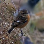 Stonechat Hopeman 24 Jan 2017 Jack Harrison