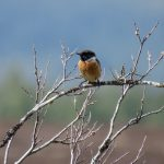 Stonechat Little Aitnoch 12 May 2017 Alison Ritchie