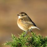 Stonechat Little Aitnoch 17 Nov 2017 Alison Ritchie 2