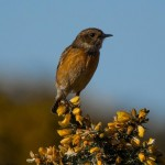 Stonechat Lossie estuary 12 Mar 2014 David Main